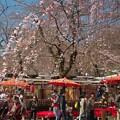 京都、平野神社(2)H29,4,4