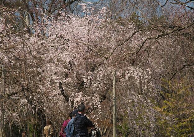 写真: 京都、府立植物園(1)そよぐ枝垂れ桜 H29,4,5