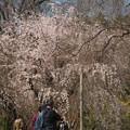 京都、府立植物園(1)そよぐ枝垂れ桜 H29,4,5