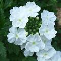 花てまり H29,5,23