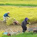 写真: 稲刈り(1)H29,9,16