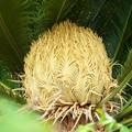 写真: ソテツの雌花 H29,9,16