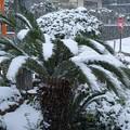 雪のソテツ H29,12,17