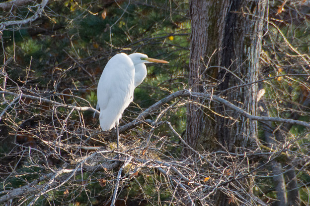 Photos: 白鷺1