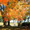 写真: 楷の木