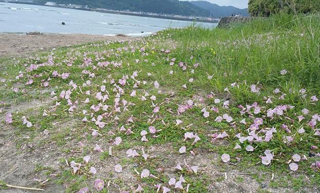 0509青島ハマヒルガオ1