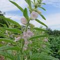 Photos: 0904ゴマの花2