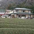 写真: 茶畑2