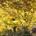 写真: 黄葉満開のイチョウ!20141115