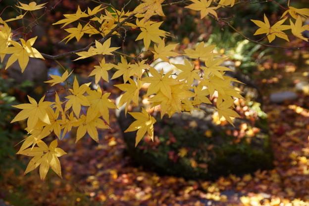写真: 黄葉彩る小川!20141115