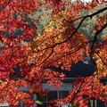 写真: 真赤に彩るモミジのカーテン2014