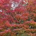 写真: 紅葉の大木!2014