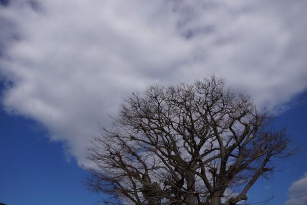 写真: 冬木立と白い雲201501