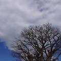 Photos: 冬木立と白い雲201501
