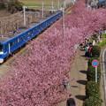河津桜と青い電車2015