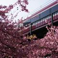 河津桜と赤い電車2015c