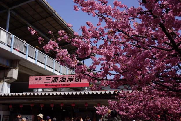 三浦海岸の河津桜2015b