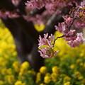 河津桜と菜の花2015e