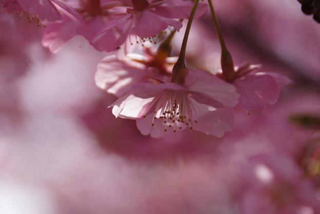 写真: 河津桜咲く2015a
