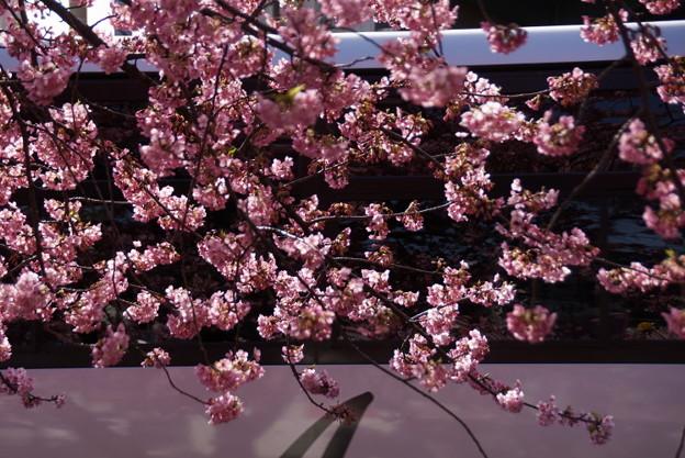 写真: 河津桜とバス2015c