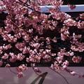 河津桜とバス2015c