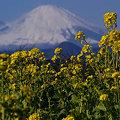 写真: 初富士に菜の花!