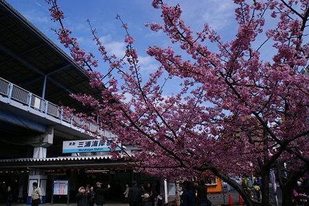 三浦海岸の河津桜祭り!(100214)