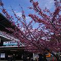 Photos: 三浦海岸の河津桜祭り!(100214)