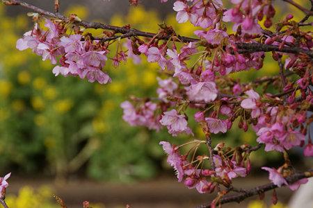 菜の花と河津桜!(100214)