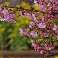 Photos: 菜の花と河津桜!(100214)