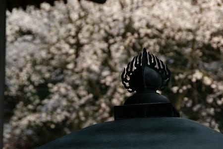 安国論寺桜!(110402)