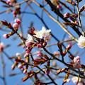 写真: 小樽で開花