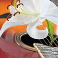 写真: 欠けた弦の奏でる百合の花