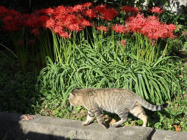 猫と彼岸花