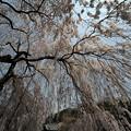 Photos: 大野寺のしだれ桜