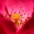 写真: 薔薇の精