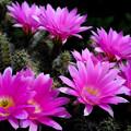 写真: ピンクの花がV字に満開