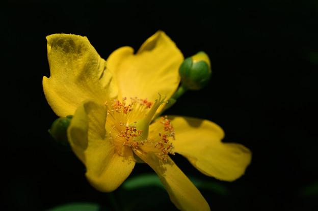 黄色い花:金糸梅