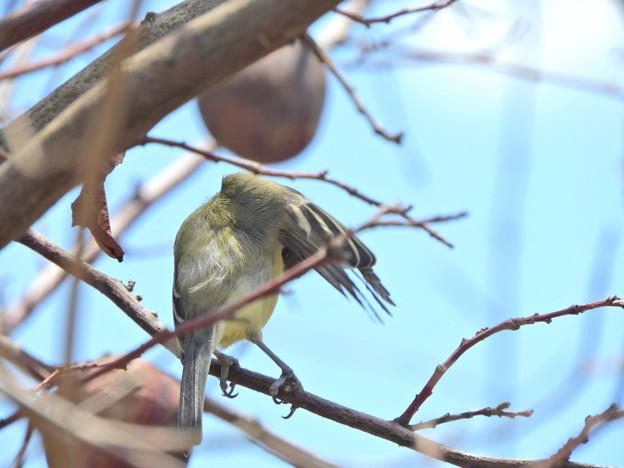 シジュウガラ:羽の下からこそっと視線!