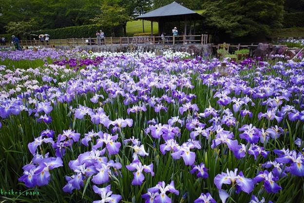馬見丘陵公園_菖蒲(2)