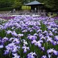 Photos: 馬見丘陵公園_菖蒲(2)