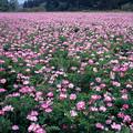 写真: 友生のレンゲ畑【蔵出し】