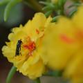 写真: 松葉牡丹とクロヒラタアブ