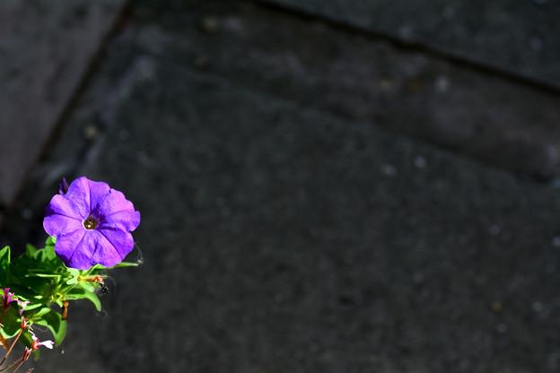 写真: 盛夏のペチュニア