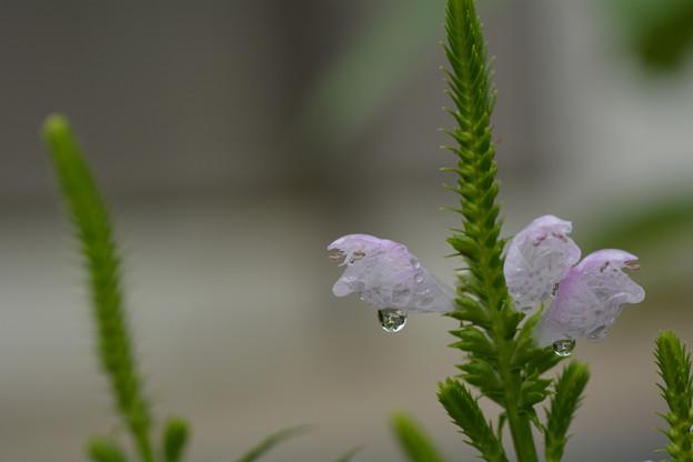 雨:フィソステギア(カクトラノオ)