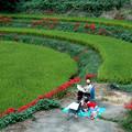 写真: 明日香(稲渕):彼岸花に囲まれて・・・