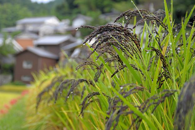 明日香:古代米の実り【蔵出し】