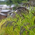 写真: 明日香:古代米の実り【蔵出し】