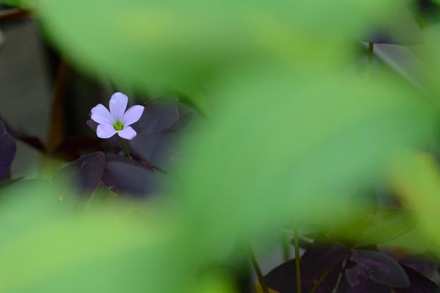 写真: オキザリス・トリアングラリス(紫葉)