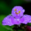 写真: 白雪姫:花の水溜り